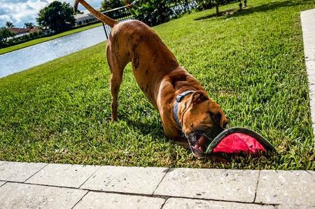 perro boxer: perro boxer atigrado juega con el juguete en el césped Foto de archivo