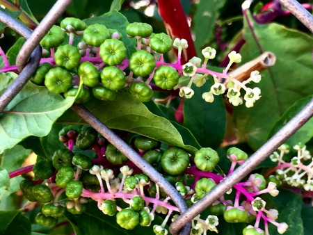 montauk: pokeweed berries on the vine