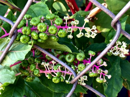 pokeweed berries on the vine