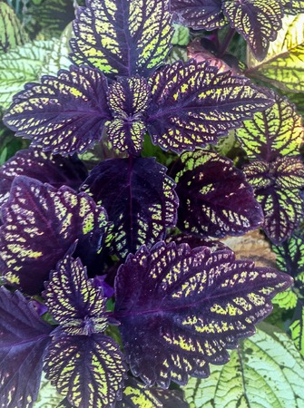 purple and green fishnet stocking coleus Stock Photo