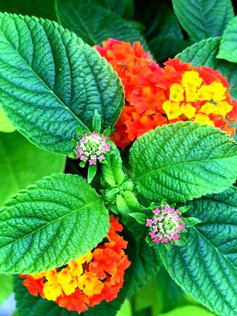 lantana: beautiful and delicate Lantana flowers in bloom