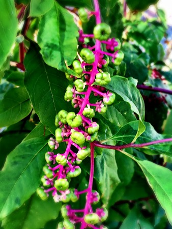 herbaceous: pokeweed flowers and berries Stock Photo
