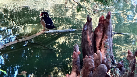 palmate: wood duck with red eye in cypress swamp