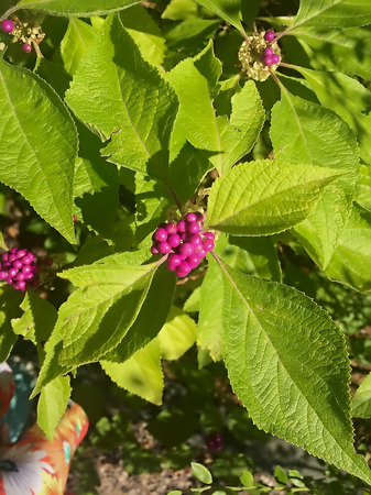 Cluster of purple and pink berries in a beauty berry plant Stock Photo