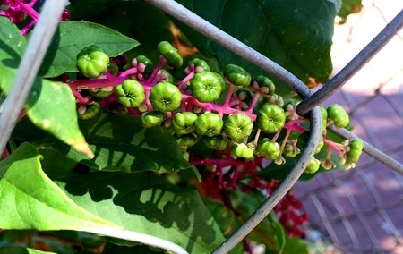 archival: pokeweed flowers and berries Stock Photo