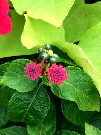 beautiful and delicate Lantana flowers in bloom