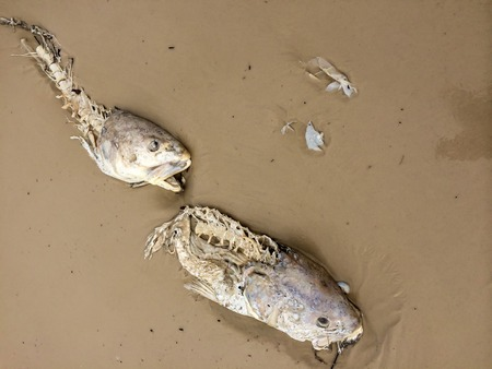 gruesome: dead fish washed up on the beach Stock Photo