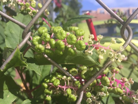 montauk: pokeweed berries growing through a fence