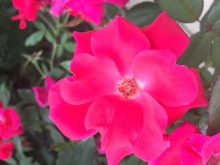hot pink: beautiful hot pink rose in full bloom Stock Photo