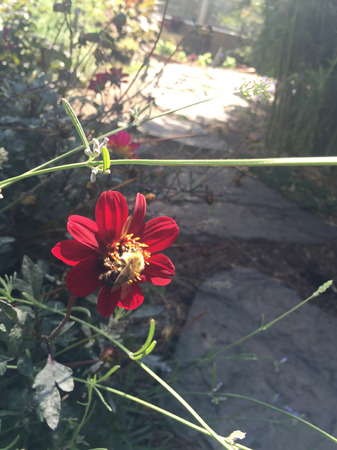 blte: red zinnia and a bumble bee