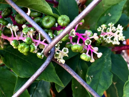 montauk: Pokeberries with hot pink stem