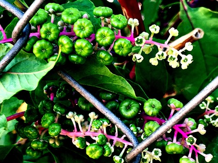 montauk: pokeweed flowers and berries Stock Photo