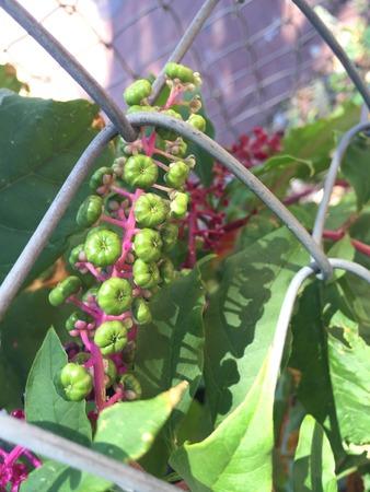 montauk: Pokeberries with hot pink stem