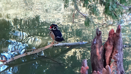 red eye: wood duck with red eye in cypress swamp