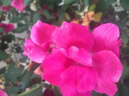 hot pink: hot pink rose in full bloom