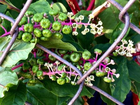 montauk: pokeweed flowers and berries Stock Photo