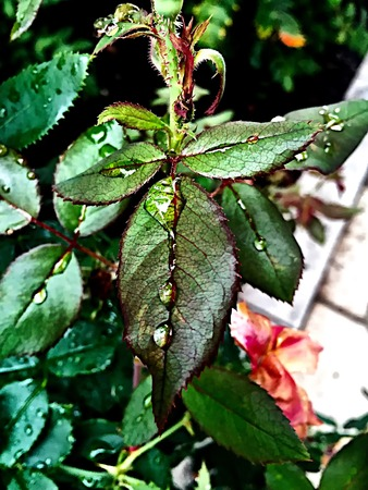 montauk: shining rain drops on a red and green leaf Stock Photo