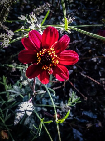 red zinnia and a bumble bee