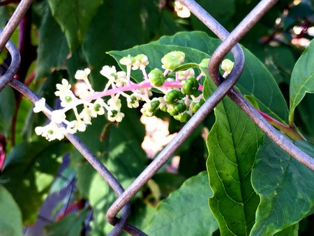 pokeweed flowers and berries Stock Photo