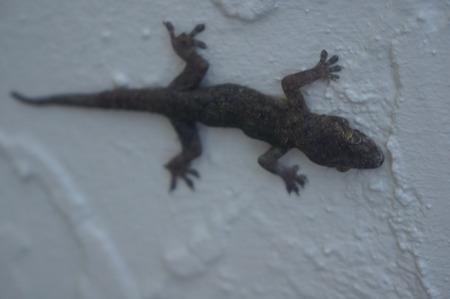 lizzard: lizard climbing on a white wall