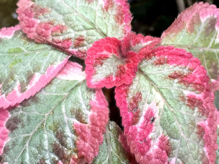 moderate: hot pink and green coleus plant
