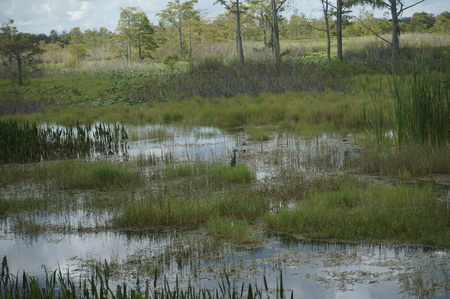 waterfowl: swamp land with birds and waterfowl