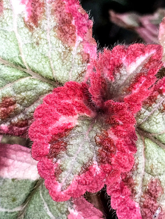 hot pink and green coleus plant