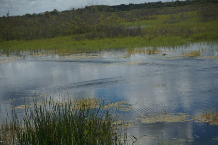wetland conservation: swamp land with birds and waterfowl