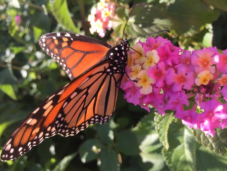 orange, black and white butterfly on pink flowers