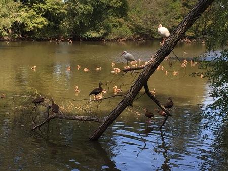 alligators: birds in the pond at Audubon Park in Louisiana Stock Photo