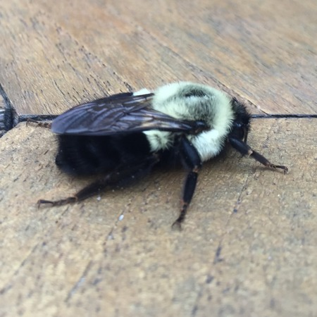 aculeata: large bee on a wooden table in focus Stock Photo