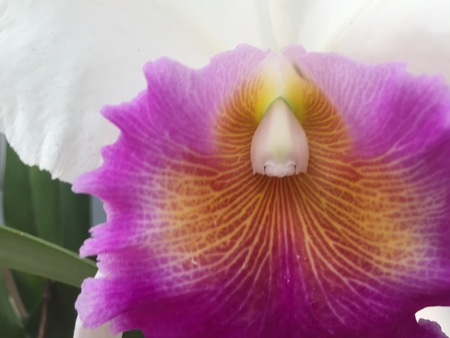 purple white and orange orchid in bloom Stock Photo