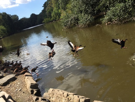 whistling: brown ducks flapping wings - Black-bellied whistling ducks