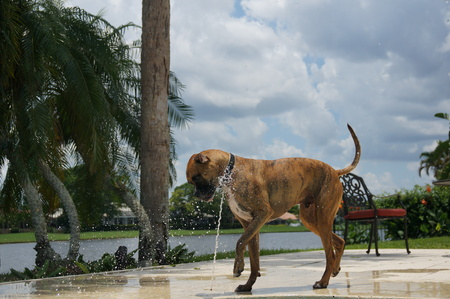 perro boxer: boxer dog drinks out of a pool fountain in backyard Foto de archivo