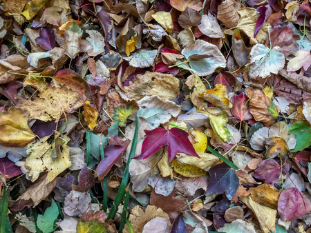 pile of leaves: close up view of pile of multi-colored fall leaves