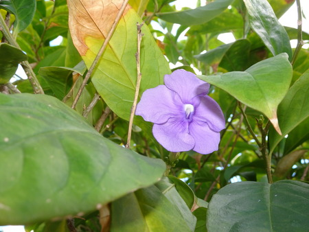 Tibouchina (princess flower) (glory flower)