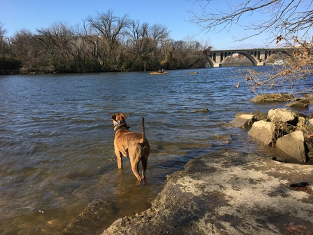 Brown striped dog plays in the Potomac River Stock Photo