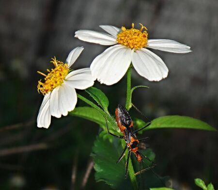 milkweed assassin bug in Louisiana Banco de Imagens