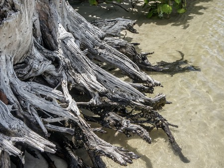 sea grape trees and driftwood on the sandy shore Banque d'images