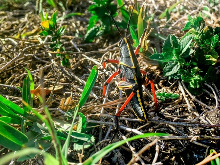 black lubber grasshoppers in the swamp