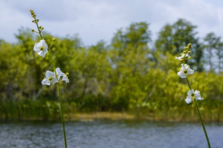 arrowhead flower (Sagittaria latifolia)  in the marsh of Florida