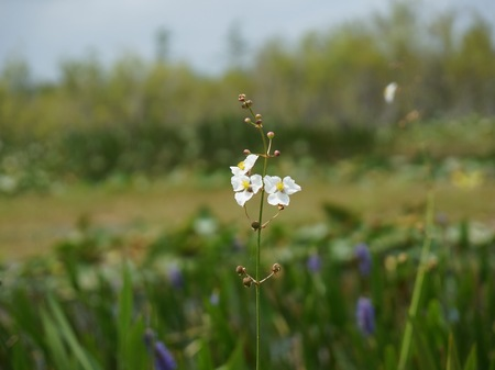 arrowhead flower (Sagittaria latifolia) in the Florida Everglades