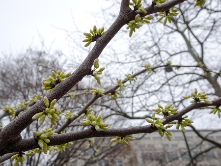 Canopies: cherry blossom buds on a tree Stock Photo