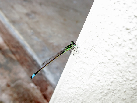 tiny dragonfly ( Ischnura senegalensis) on a white wall
