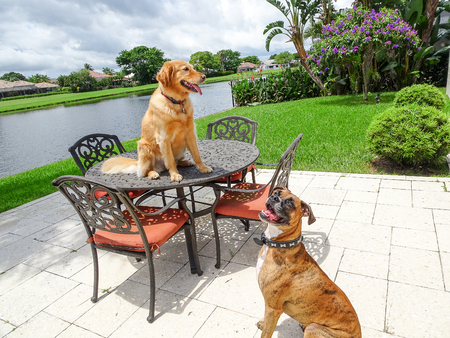 golden retriever and boxer dog sit on a table in the yard