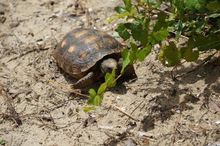 suelo arenoso: endangered gopher tortoise in South Florida beach