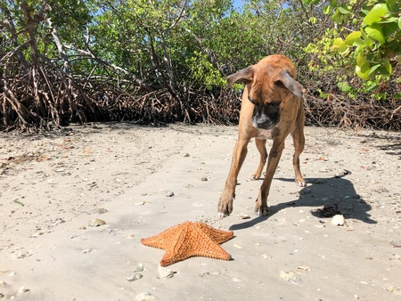 boxer dog and a starfish on the beach