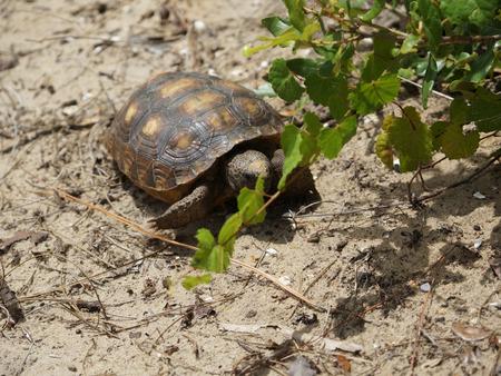 keystone: endangered gopher tortoise in South Florida beach