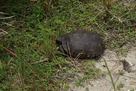 endangered gopher tortoise in South Florida beach