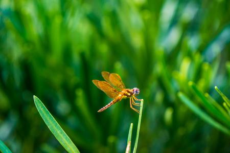 Pantala Flavescens Wandering Glider Dragonfly
